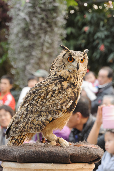 Owl At Kachoen
