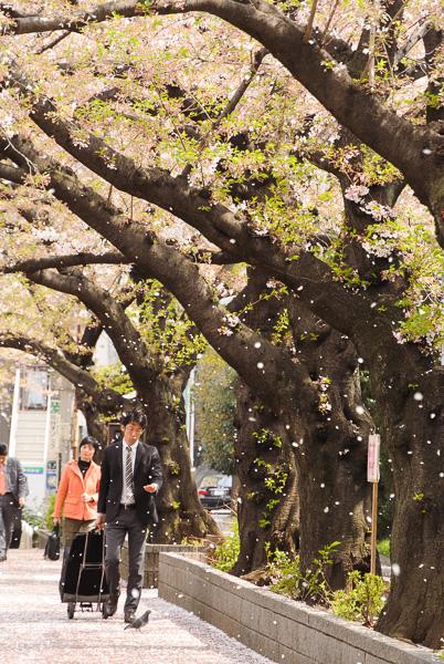 Sakurafubuki 2014